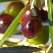 Olivenöl Hautpflege